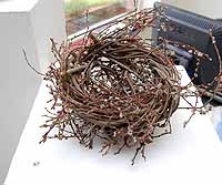 Large Wild Willow Nest With Catkins at Bud Burst