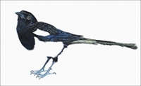 *The Magpie